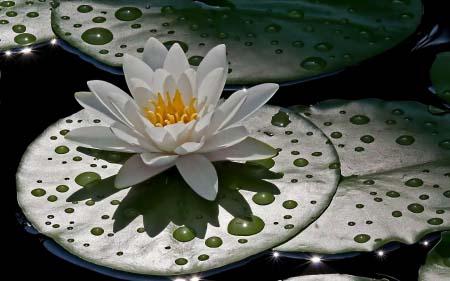莲花的眼泪