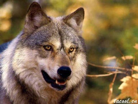 狼的精神品质