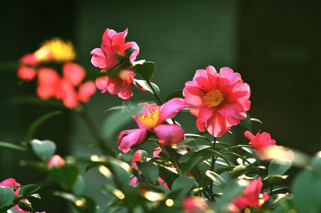 你会看到盛开的茶花