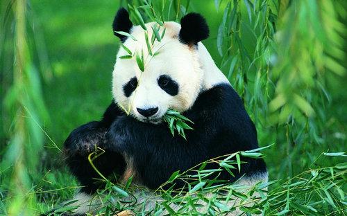 [描写大熊猫的作文]有关于描写形容大熊猫的句子及图片