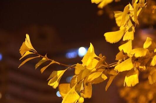夜色里的银杏树